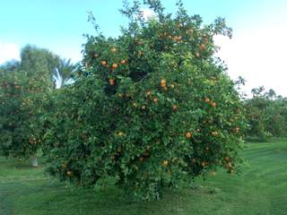 Arizona Citrus Tree