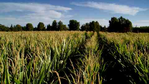 Corn at the Schnepf Farm