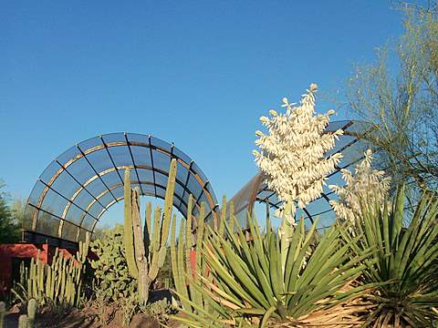 Cactus flowers at the Desert Botanical Garden