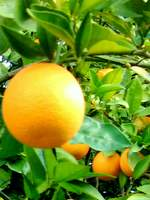 Orange- tree ripened